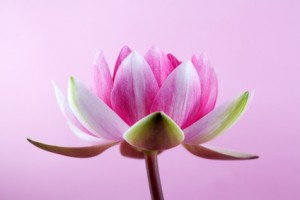 water lily, lotus on pink background
